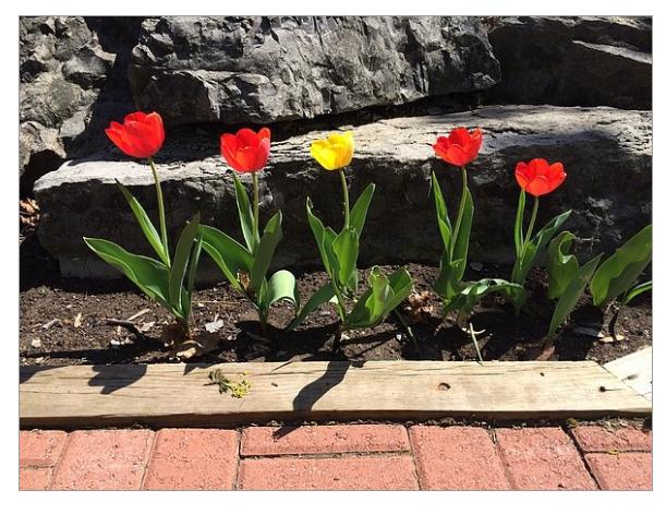 Buffalo_tulips